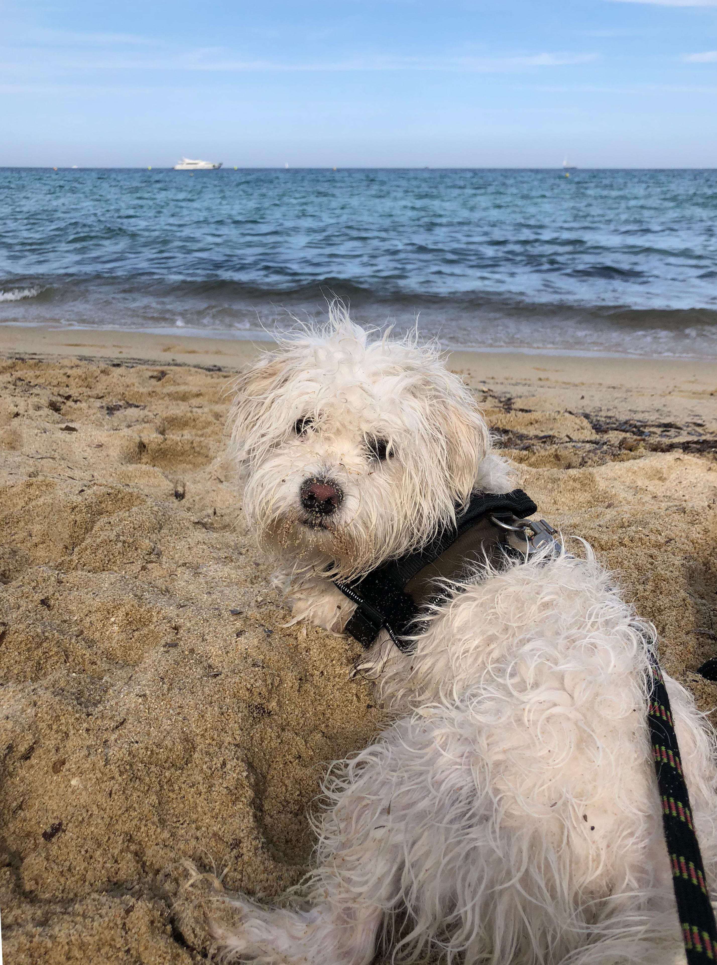 Bichon à la plage